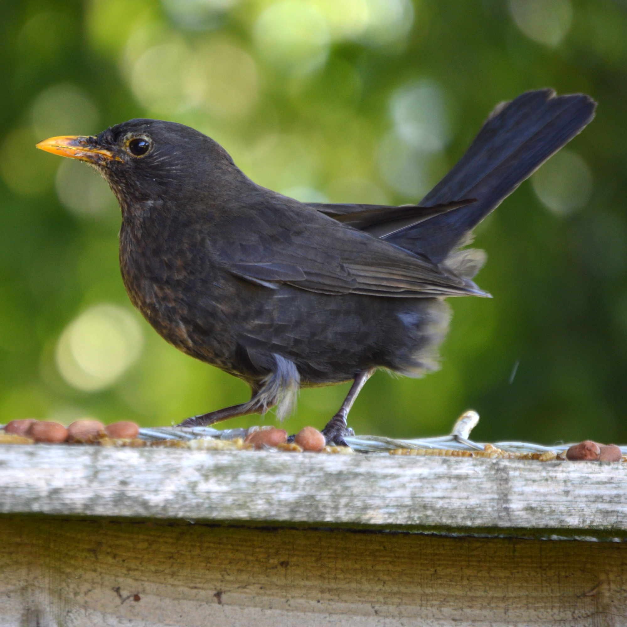 Blackbird in my garden